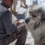 Pastore dei Pirenei cane fedele